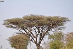 Akacio estas la plej ofta arbo en Afriko. Landlimo de Ngoma