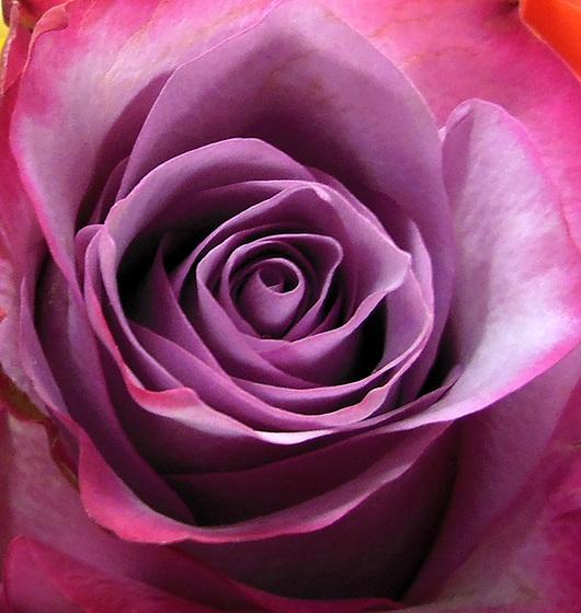 M comme rose MAUVE