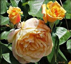 Roses douceur...