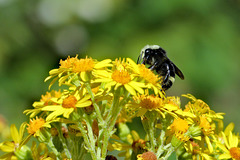 Bumblebee on wildflowers