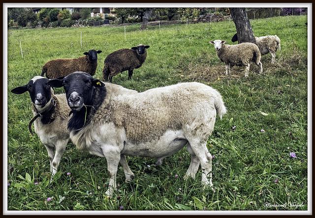 Schafe auf der Herbst Weide