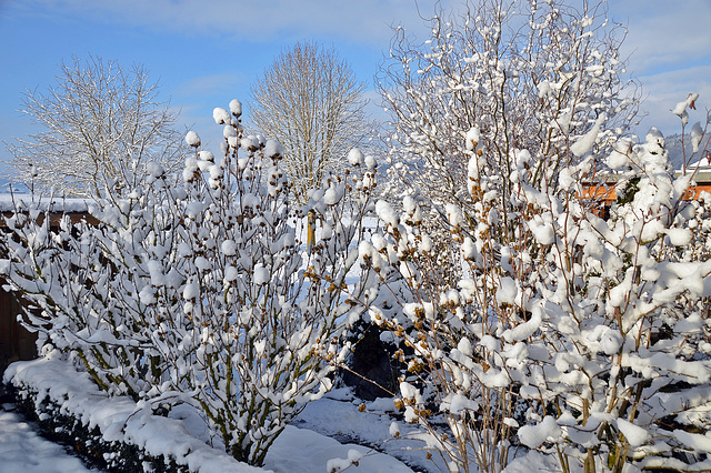 Hibiskus in Winterverkleidung