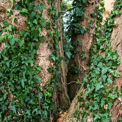 Ivy Infestation