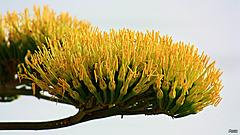 Fleur d'Agave  .
