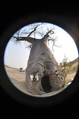 Ĉambro kavigita en trunko de Babobabo. Landlimo de Ngoma