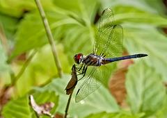 5164698 DxOdL · Dragonfly