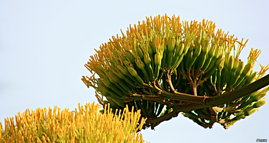 Agave moh2