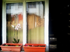An orchid in my neighbor's window
