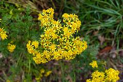 Yellow Roadside Flowers