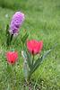 Tulpen mit Hyazinthe