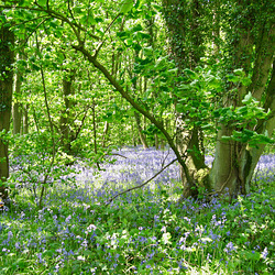 Bluebells in New Park Wood in early June 2008