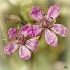 On vient de s'ouvrir timidement, nous sommes des petites fleurs que vous ne voyez même plus......!~ 5 mm
