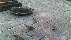Sparrows taking advantage of a fresh sanding