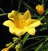 Day Lily Closeup