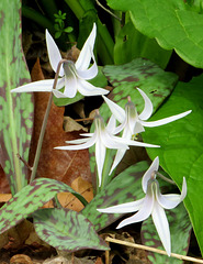 White Trout lily