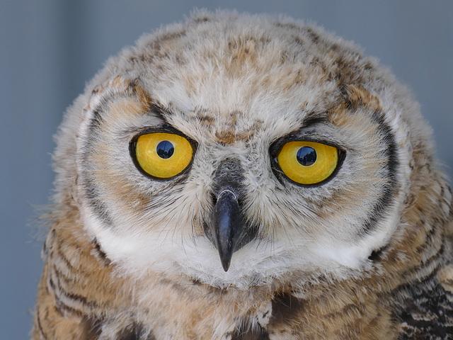 Sweet young owl