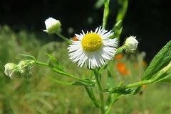 Vergerette annuelle = Erigeron annuus, Astéracées (Rhône, France)