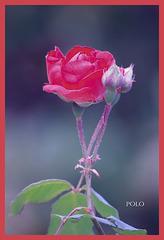 Rosa y capullos