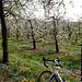 Kirschblüten - Cerisiers en fleurs - Cherry blossom