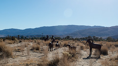 Borrego Springs, CA bighorn sheep sculptures (#  0627)
