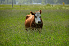 Cow in the long grass