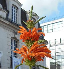 U like URBAN flower : LEONOTIS NEPETIFOLIAS