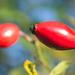 MM: rote bis gelbe Früchte
