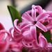 Easter Hyacinth