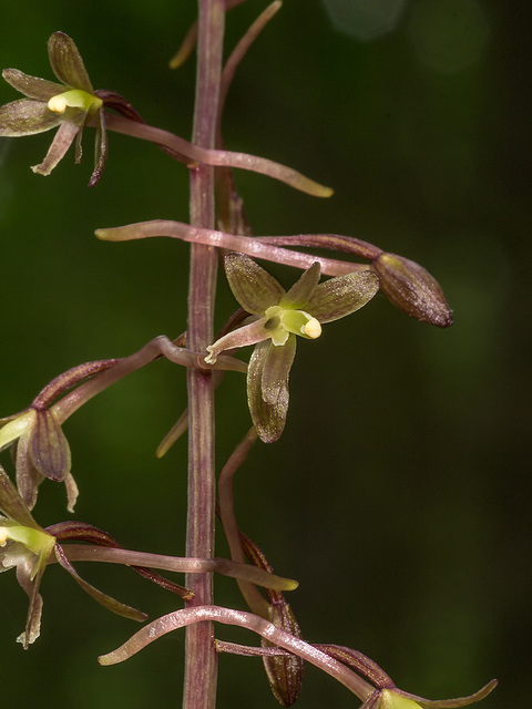 Tipularia discolor (Crane-fly orchid)