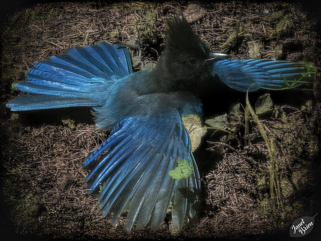 We're Having a Great Time, and Here's a Steller's Jay Warming Itself! (+2 insets)