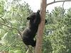 Tree Climbing, Bear Style