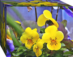 Boxed Pansies