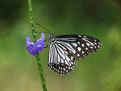 Papillon au Kerala - Parantica aglea at Nayikayam Thattu