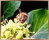 Italienische Biene als 'Rüsseltier'. ©UdoSm