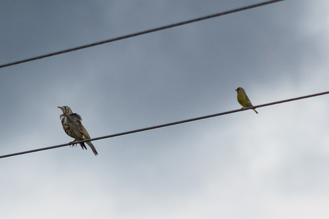 Mistle Thrush and Greenfinch
