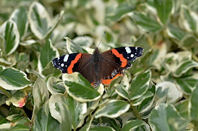 Red Admiral   /   Aug 2020