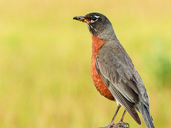 01 American Robin with food for his babies