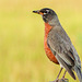 American Robin with food for his babies
