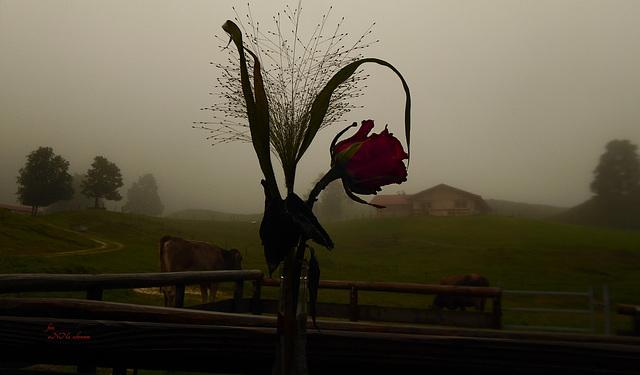 Rose im Nebel