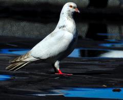 Feral pigeon (Columba livia domestica).