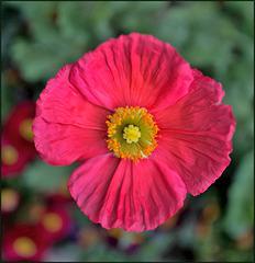 Fleur de pavot...