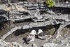 Fulmarus glacialis (2xPiP)