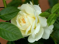 une rose blanche pour vous