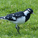 Magpie-lark - 5 March 2015