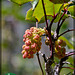 159/366: Budding Oregon-grape Cluster (+1 more in notes)