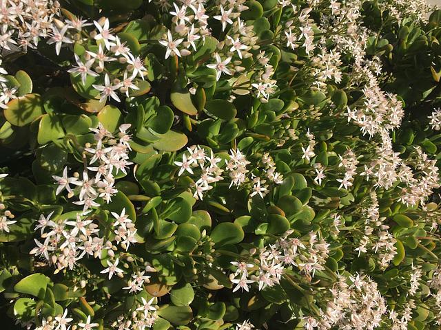 Flowering Jade
