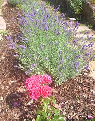 Lavendel - Rosen - Schmetterlinge - lavendo - rozoj - papilioj
