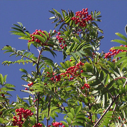 The tree is heavily laden with berries
