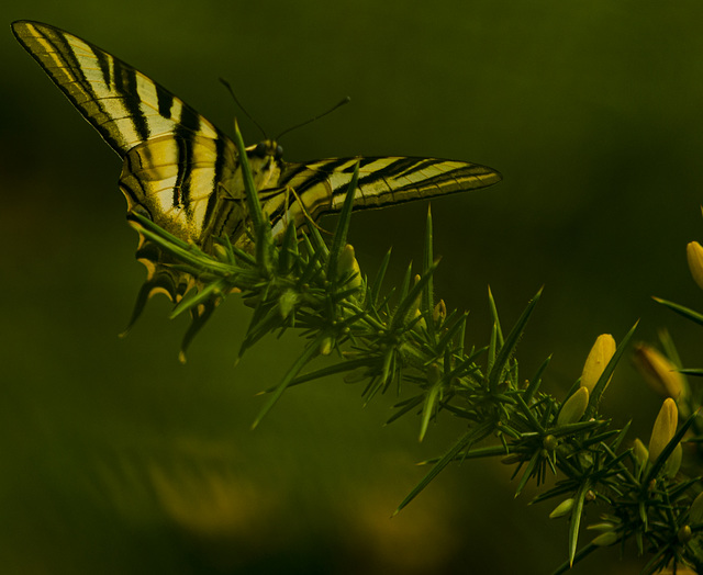 Papilio glaucos