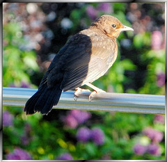 Hans-2's junior-bird. ©UdoSm